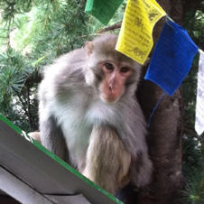 monkey-in-dharamsala-massage-around-the-world